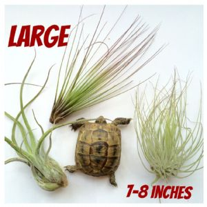 LARGE 7-8 inch 2x Shelled Warriors Air Plant FREE POST